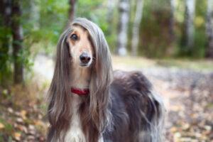 Afghan-Hound-most-expensive-dog-breeds