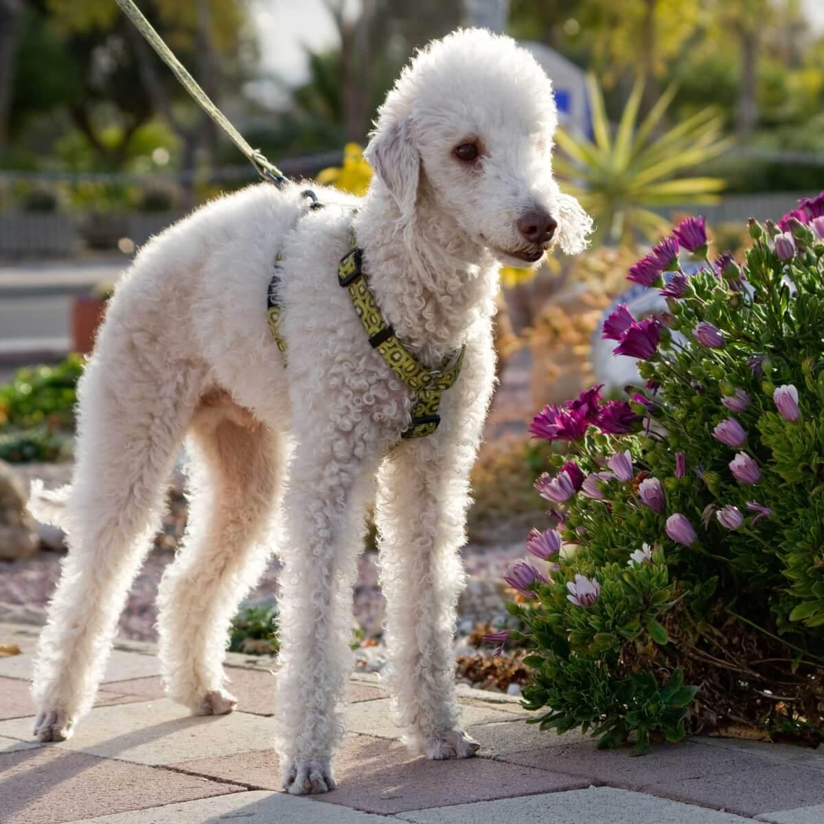 Bedlington-Terrier-most-expensive-dog-breeds