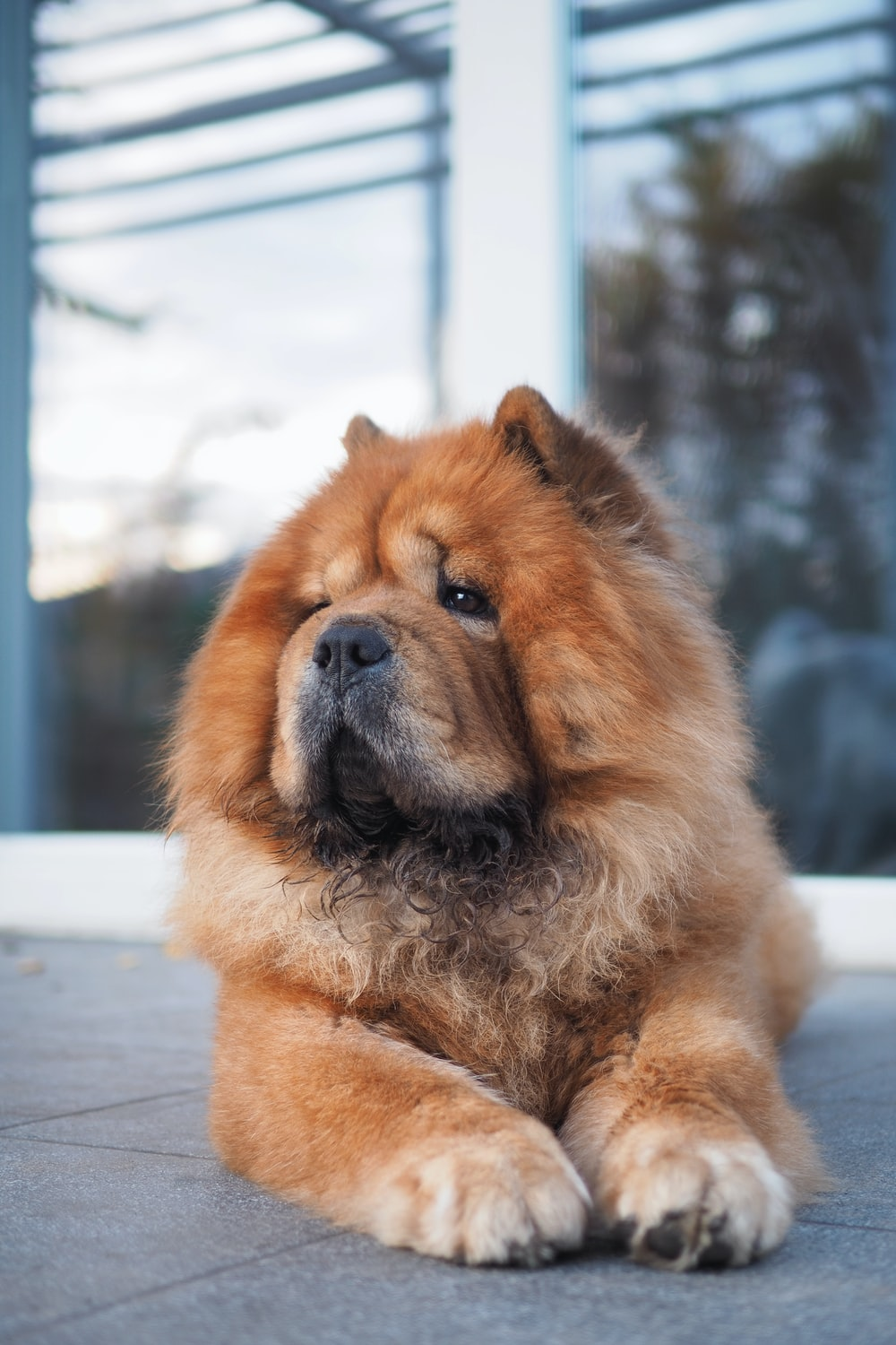 Chow-Chow-most-expensive-dog-breeds