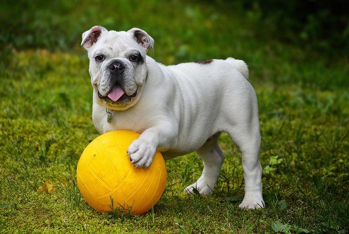 English-Bulldog-most-expensive-dog-breeds