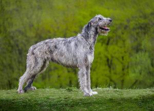 Gray huge Irish Wolfhound