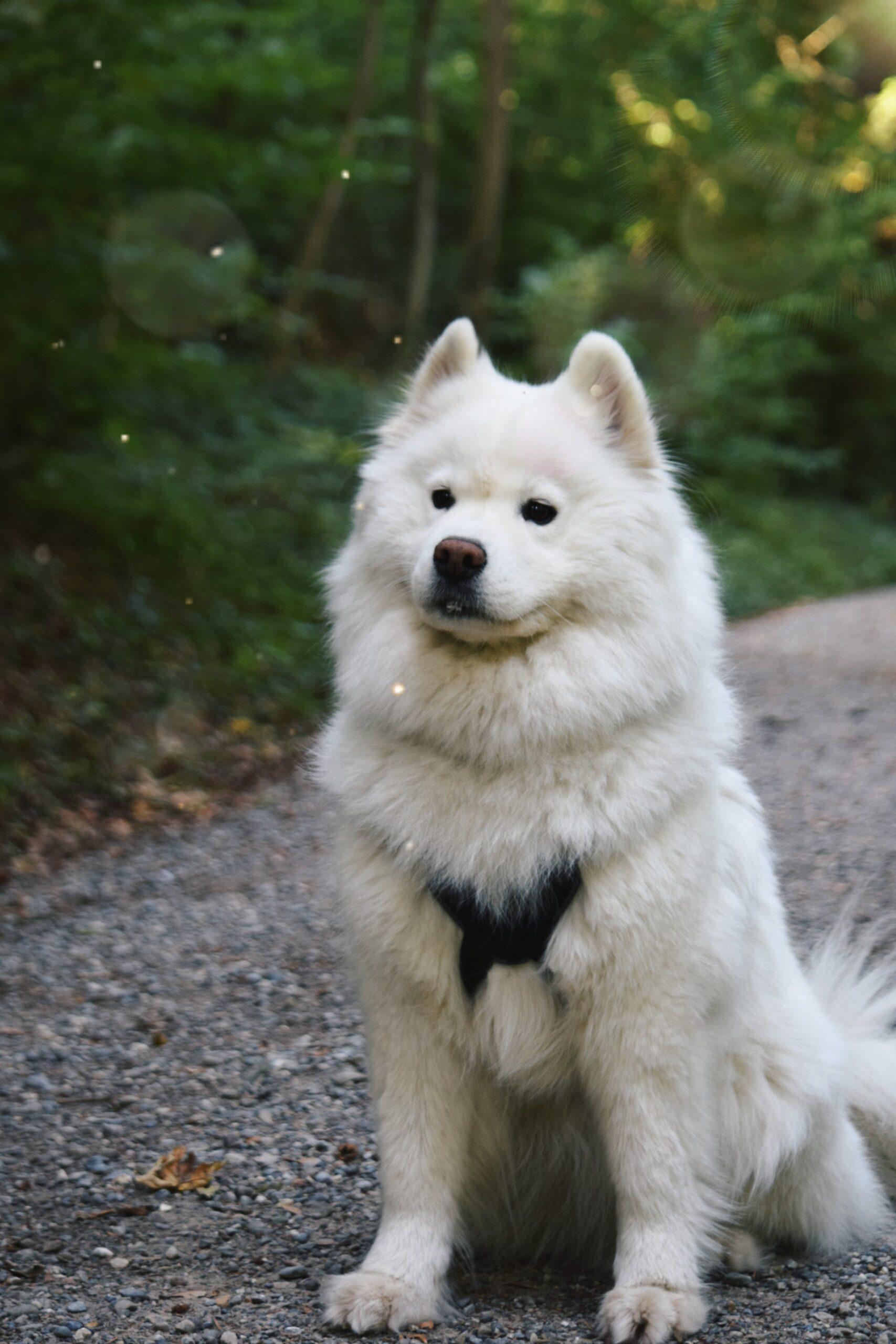 Samoyed-most-expensive-dog-breeds