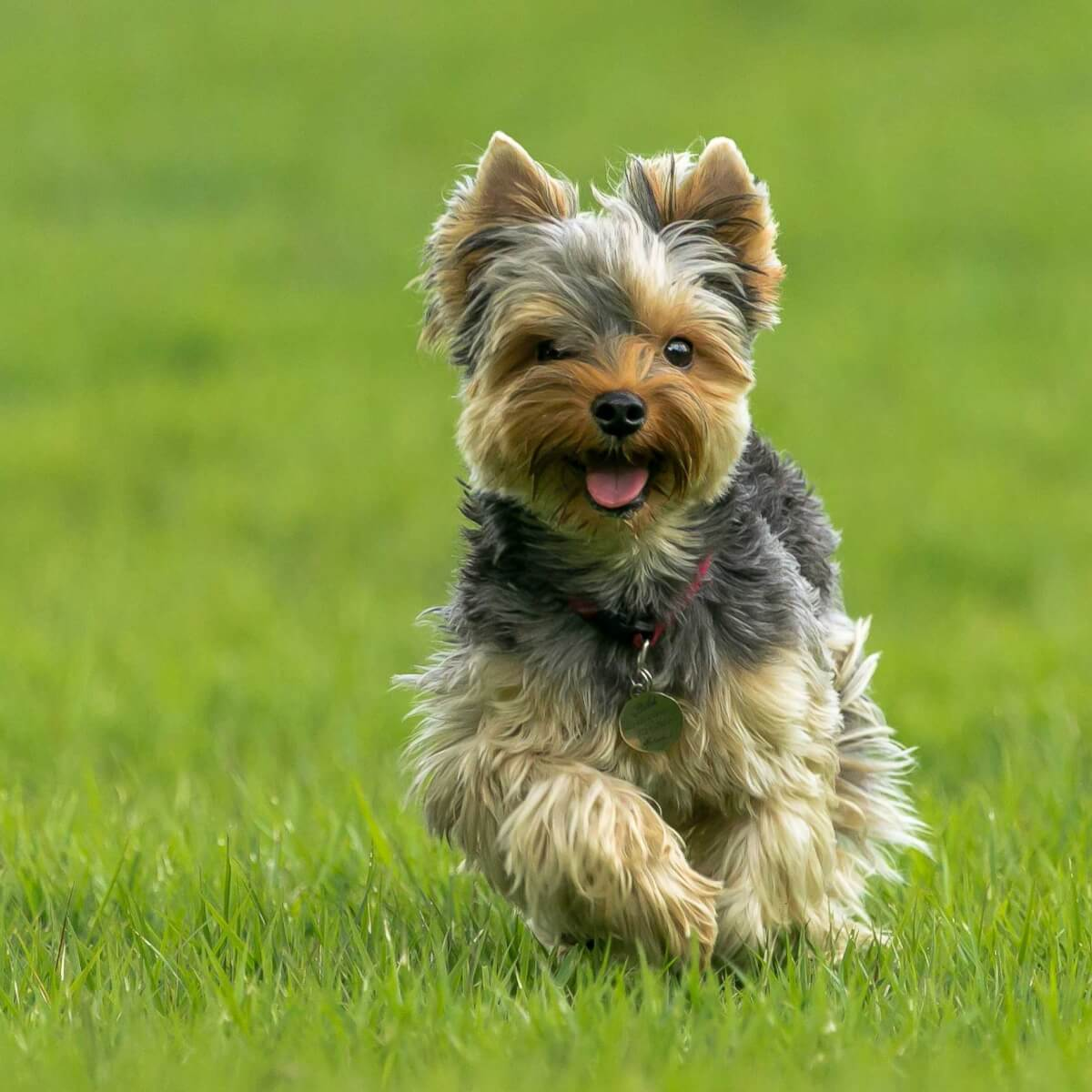 Yorkshire-Terriers-most-expensive-dog-breeds