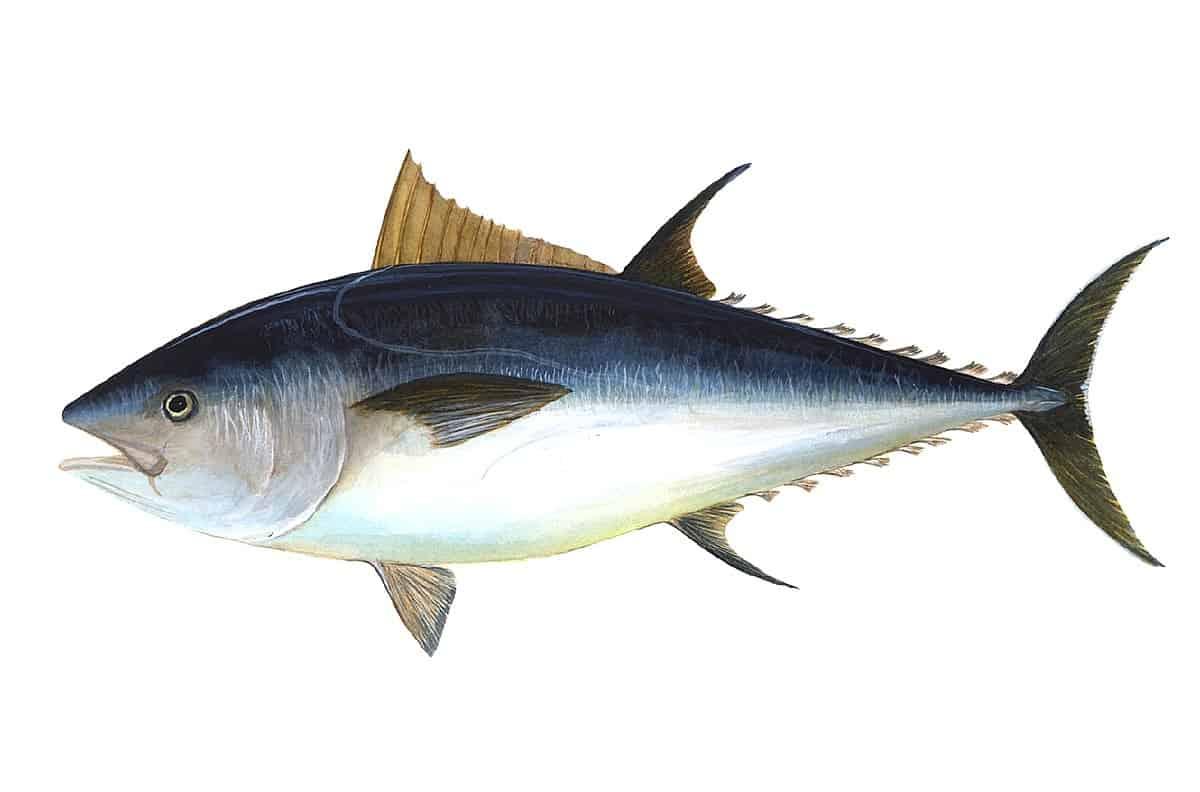 Bluefin-tuna-most-expensive-food-item