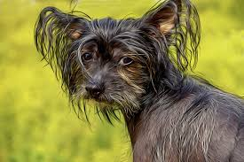 Chinese-crested-hairless-dog