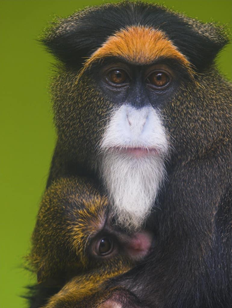 De_Brazza's_Monkey