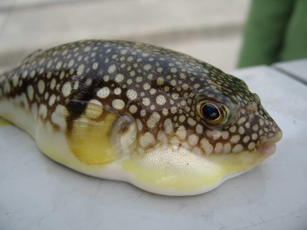 Fugu-Fish-most-expensive-food-item