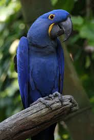 Hyacinth-Macaw-most-expensive-pet