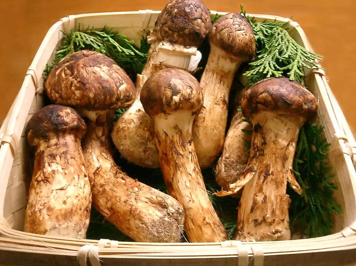 Matsutake-mushrooms-most-expensive-food-item