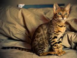 Savannah-cat-most-expensive-pet