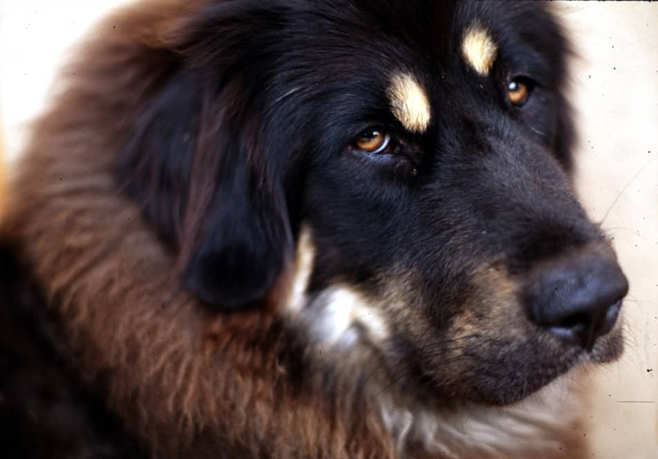 Tibetan-Mastiff-most-expensive-pets