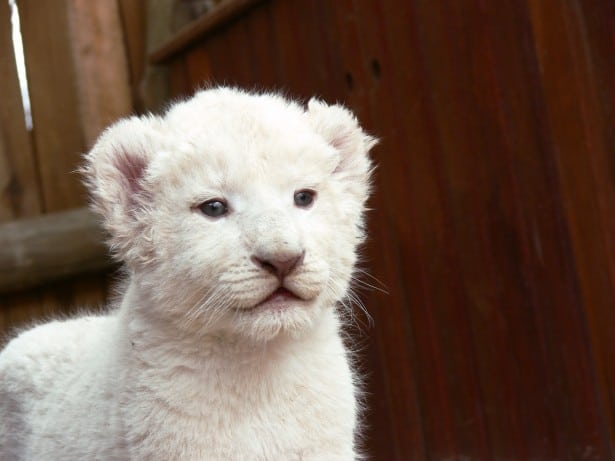 white-lion-cub-most-expensive-pets